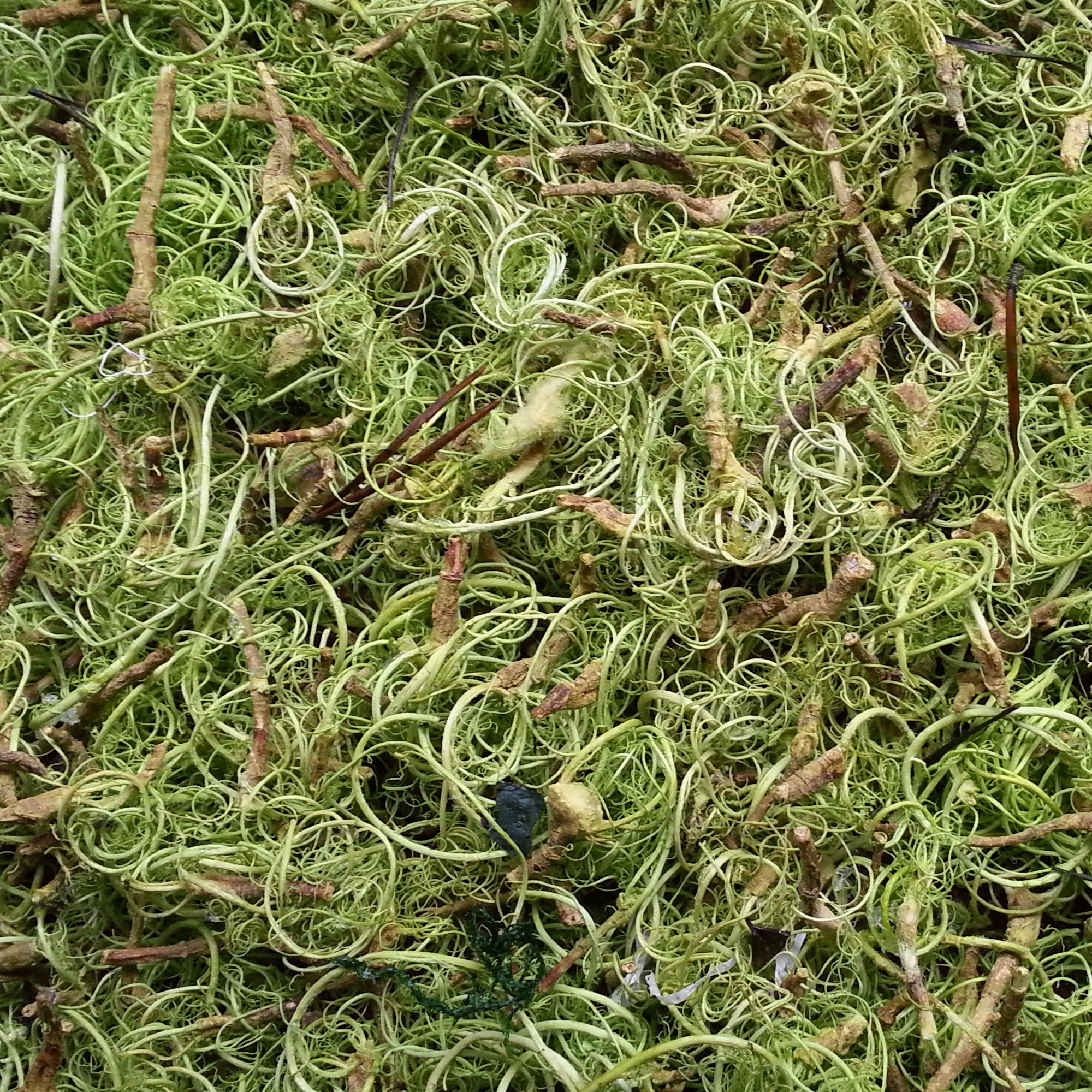 Curly Moss or Louisiana Moss in the color sring green